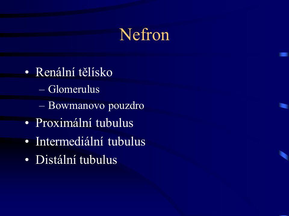 Nefron Renální tělísko –Glomerulus –Bowmanovo pouzdro Proximální tubulus Intermediální tubulus Distální tubulus