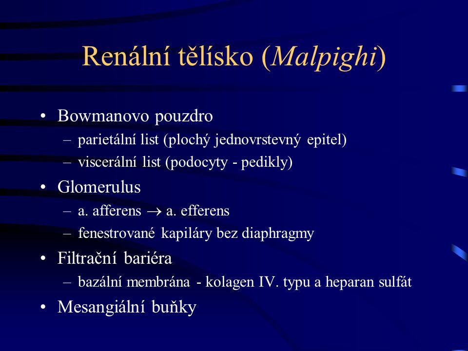 Renální tělísko (Malpighi) Bowmanovo pouzdro –parietální list (plochý jednovrstevný epitel) –viscerální list (podocyty - pedikly) Glomerulus –a. affer