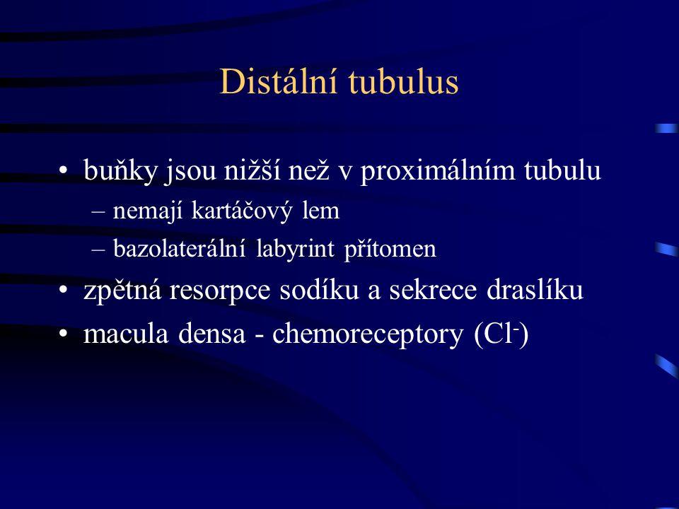 Distální tubulus buňky jsou nižší než v proximálním tubulu –nemají kartáčový lem –bazolaterální labyrint přítomen zpětná resorpce sodíku a sekrece dra
