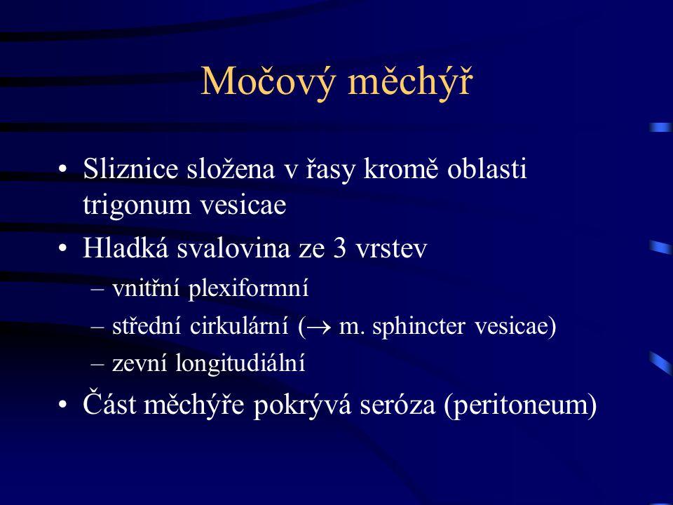 Močový měchýř Sliznice složena v řasy kromě oblasti trigonum vesicae Hladká svalovina ze 3 vrstev –vnitřní plexiformní –střední cirkulární (  m. sphi