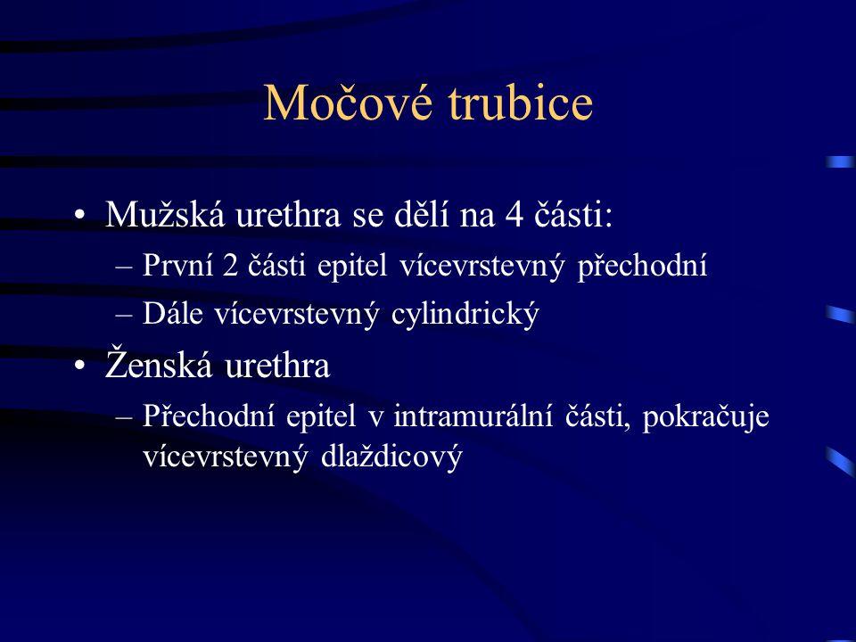Močové trubice Mužská urethra se dělí na 4 části: –První 2 části epitel vícevrstevný přechodní –Dále vícevrstevný cylindrický Ženská urethra –Přechodn