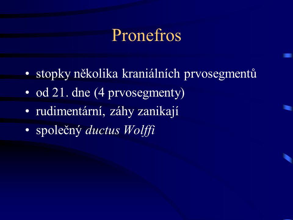 Pronefros stopky několika kraniálních prvosegmentů od 21. dne (4 prvosegmenty) rudimentární, záhy zanikají společný ductus Wolffi
