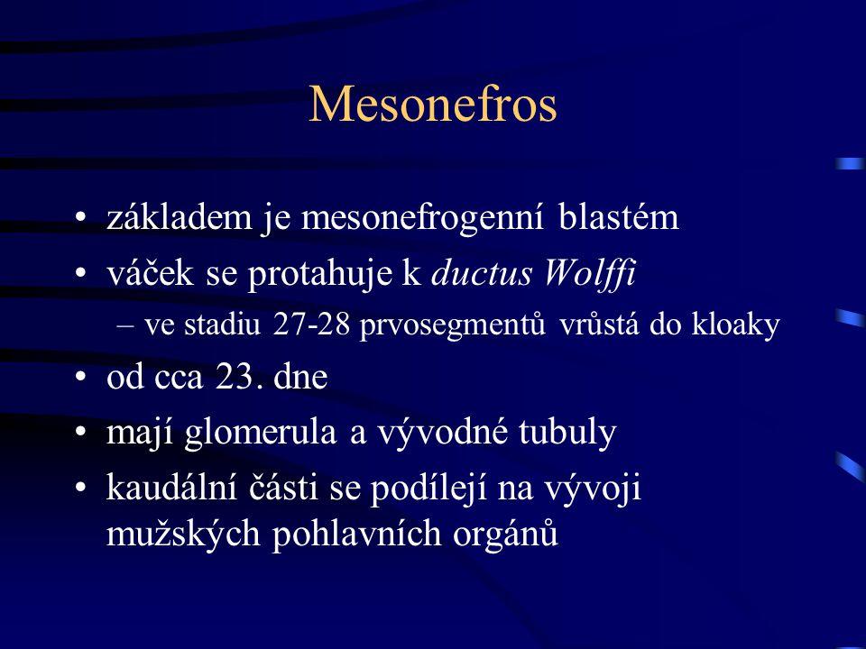 Mesonefros základem je mesonefrogenní blastém váček se protahuje k ductus Wolffi –ve stadiu 27-28 prvosegmentů vrůstá do kloaky od cca 23. dne mají gl