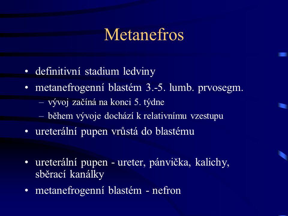 Metanefros definitivní stadium ledviny metanefrogenní blastém 3.-5. lumb. prvosegm. –vývoj začíná na konci 5. týdne –během vývoje dochází k relativním
