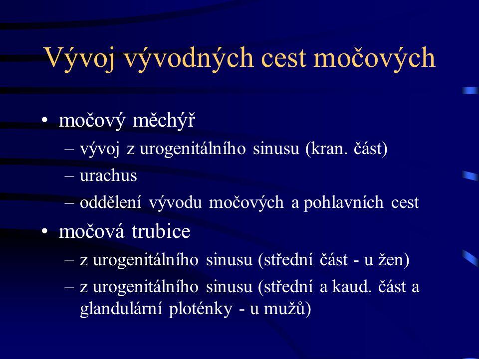 Vývoj vývodných cest močových močový měchýř –vývoj z urogenitálního sinusu (kran. část) –urachus –oddělení vývodu močových a pohlavních cest močová tr