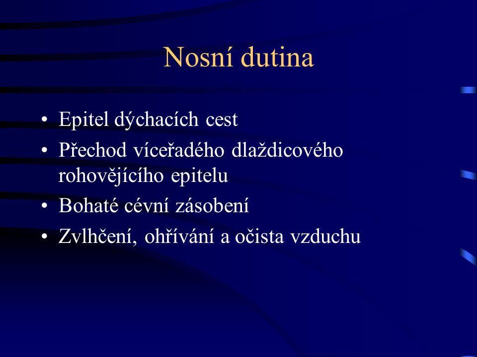 Nosní dutina Epitel dýchacích cest Přechod víceřadého dlaždicového rohovějícího epitelu Bohaté cévní zásobení Zvlhčení, ohřívání a očista vzduchu