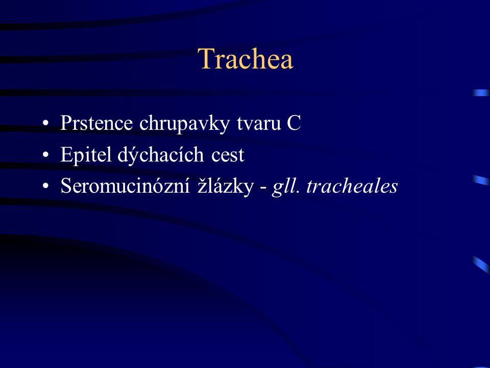 Trachea Prstence chrupavky tvaru C Epitel dýchacích cest Seromucinózní žlázky - gll. tracheales
