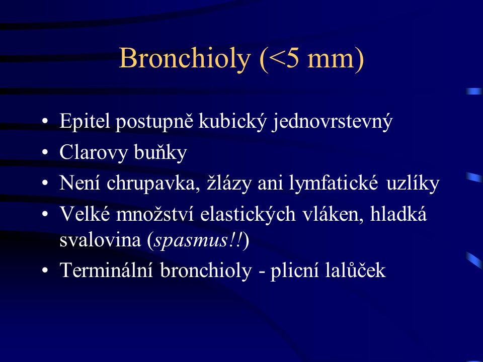 Bronchioly (<5 mm) Epitel postupně kubický jednovrstevný Clarovy buňky Není chrupavka, žlázy ani lymfatické uzlíky Velké množství elastických vláken, hladká svalovina (spasmus!!) Terminální bronchioly - plicní lalůček