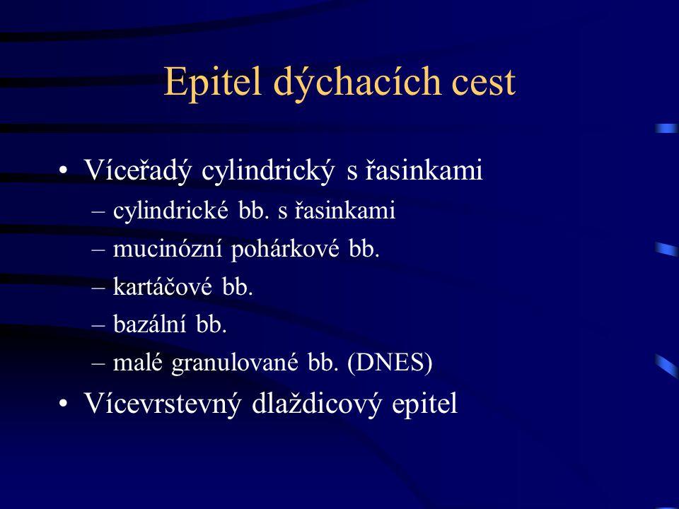 Epitel dýchacích cest Víceřadý cylindrický s řasinkami –cylindrické bb.