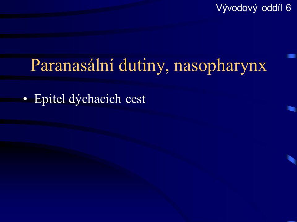 Paranasální dutiny, nasopharynx Epitel dýchacích cest Vývodový oddíl 6