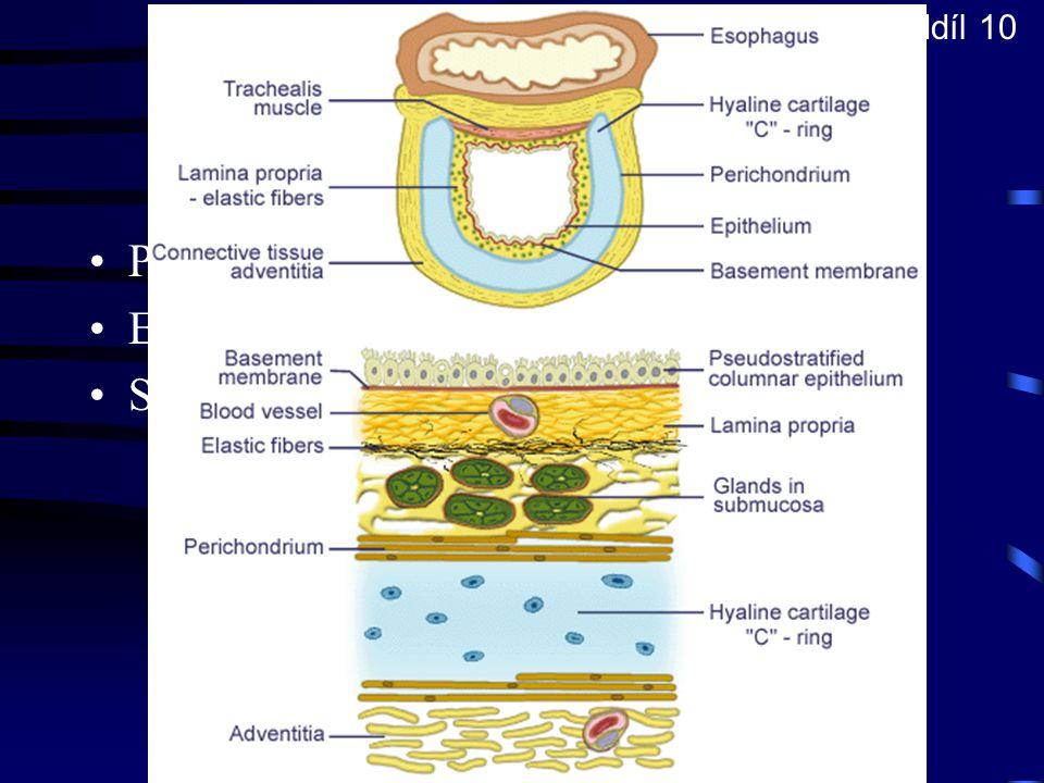 Vývodový oddíl 10 Trachea Prstence chrupavky tvaru C Epitel dýchacích cest Seromucinózní žlázky - gll. tracheales