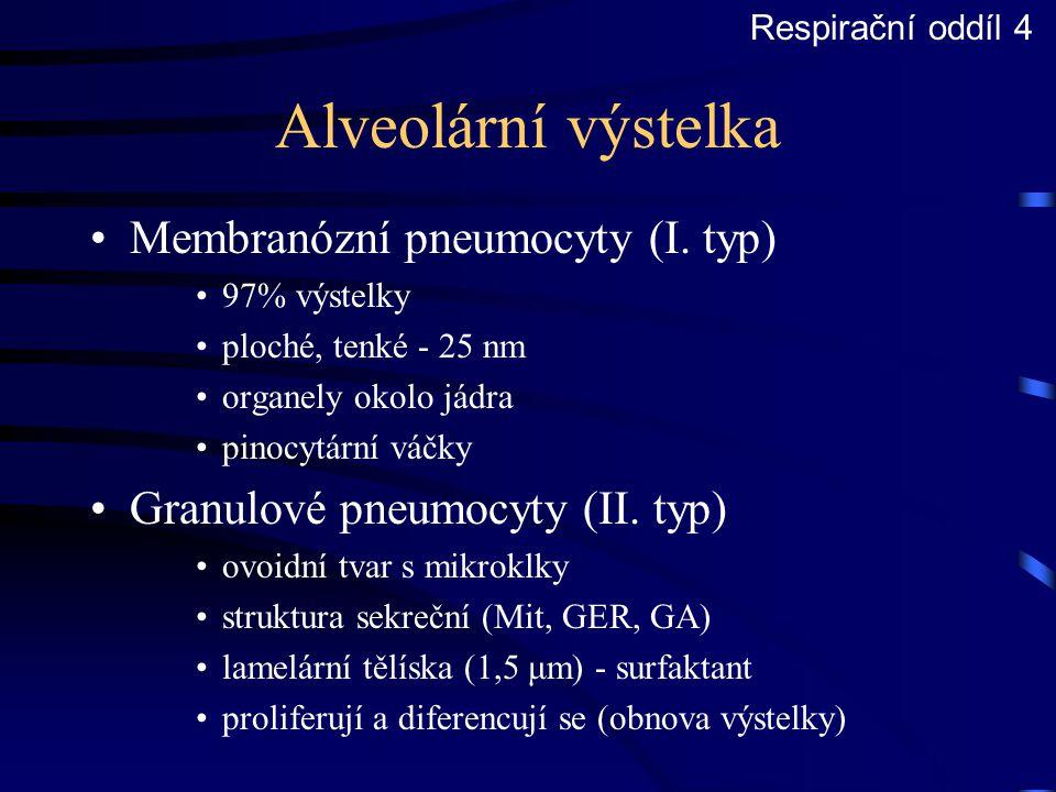 Alveolární výstelka Membranózní pneumocyty (I. typ) 97% výstelky ploché, tenké - 25 nm organely okolo jádra pinocytární váčky Granulové pneumocyty (II
