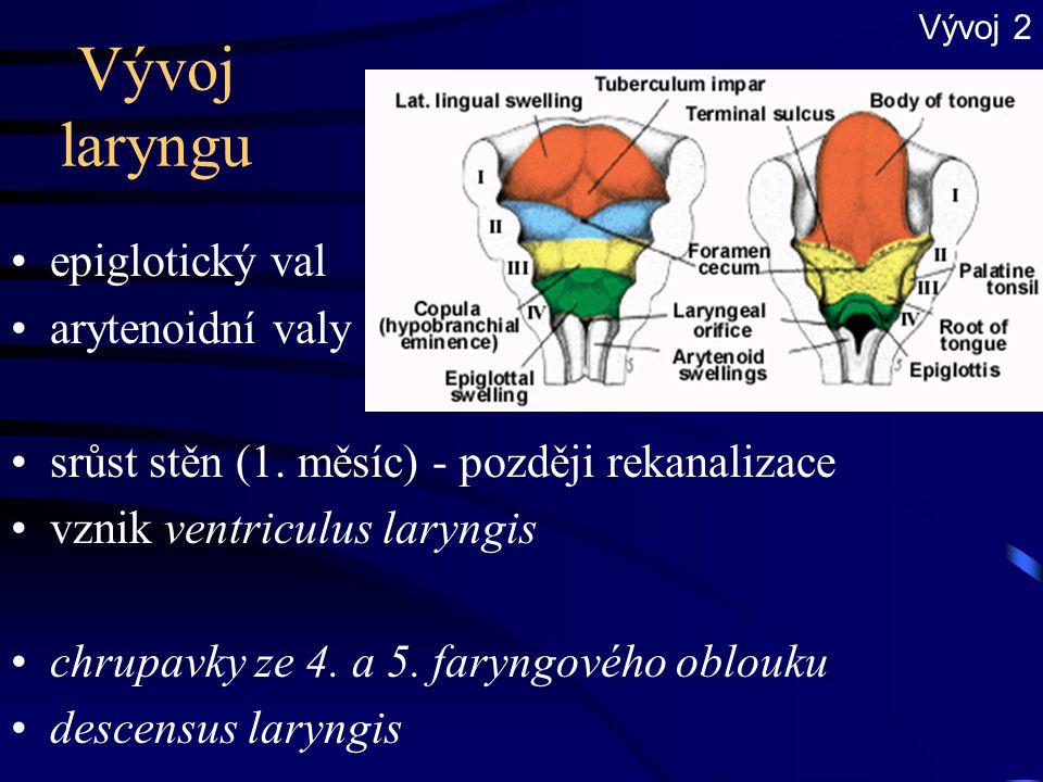 Vývoj laryngu epiglotický val arytenoidní valy srůst stěn (1. měsíc) - později rekanalizace vznik ventriculus laryngis chrupavky ze 4. a 5. faryngovéh