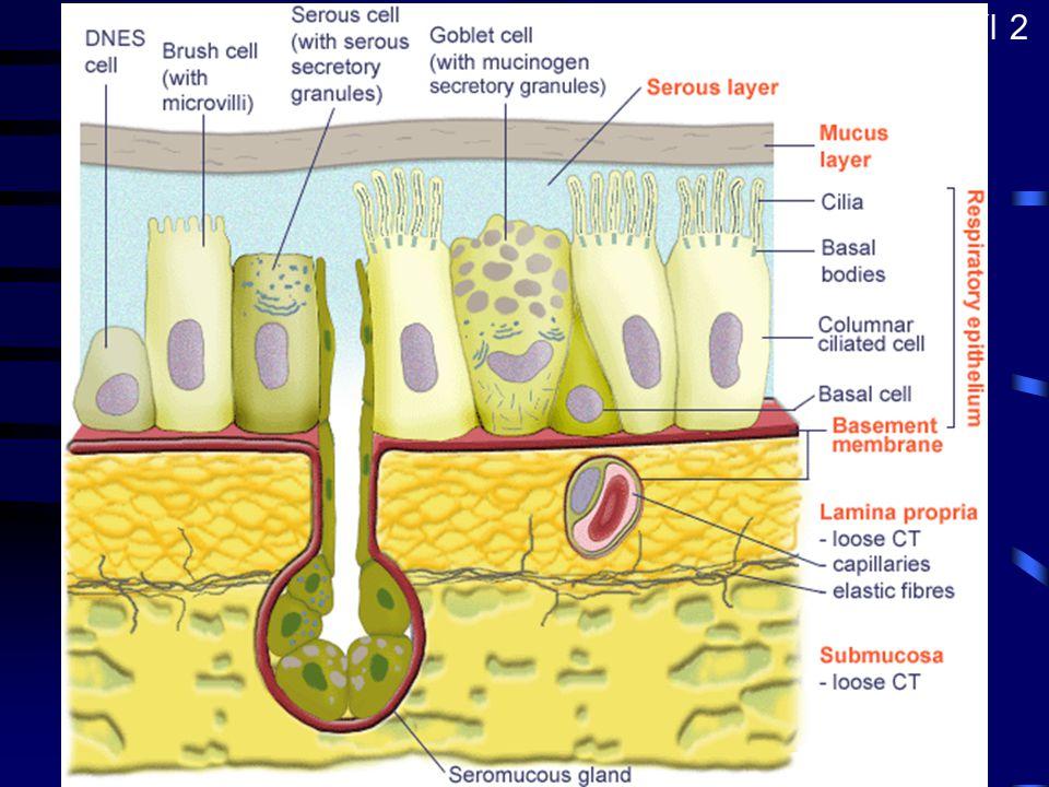 Epitel dýchacích cest Víceřadý cylindrický s řasinkami –cylindrické bb. s řasinkami –mucinózní pohárkové bb. –kartáčové bb. –bazální bb. –malé granulo