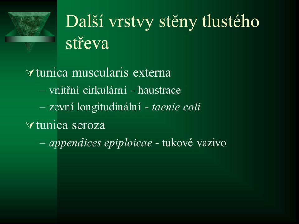 Další vrstvy stěny tlustého střeva  tunica muscularis externa –vnitřní cirkulární - haustrace –zevní longitudinální - taenie coli  tunica seroza –ap