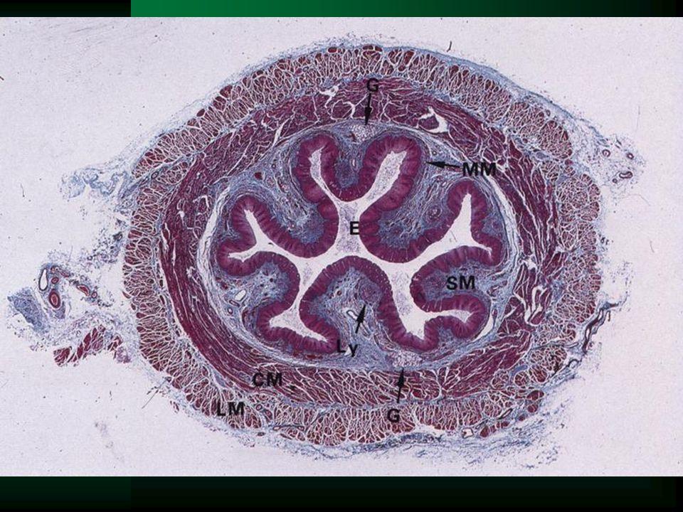 Jícen (oesophagus) –vícevrstevný nerohovějící dlaždicový epitel –lamina propria mucosae - distálně jícnové kardiální žlázy –v submukóze mucinózní žláz