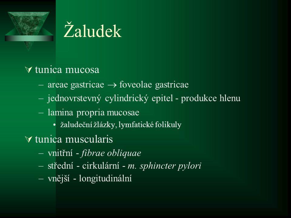 Žaludek  tunica mucosa –areae gastricae  foveolae gastricae –jednovrstevný cylindrický epitel - produkce hlenu –lamina propria mucosae žaludeční žlá