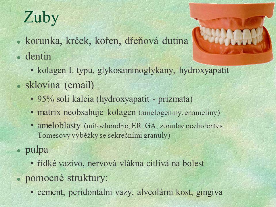 Zuby l korunka, krček, kořen, dřeňová dutina l dentin kolagen I. typu, glykosaminoglykany, hydroxyapatit l sklovina (email) 95% soli kalcia (hydroxyap