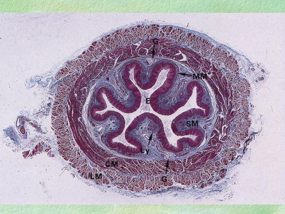 Jícen (oesophagus) l vícevrstevný nerohovějící dlaždicový epitel l lamina propria mucosae - distálně jícnové kardiální žlázy l v submukóze mucinózní žlázky - gl.