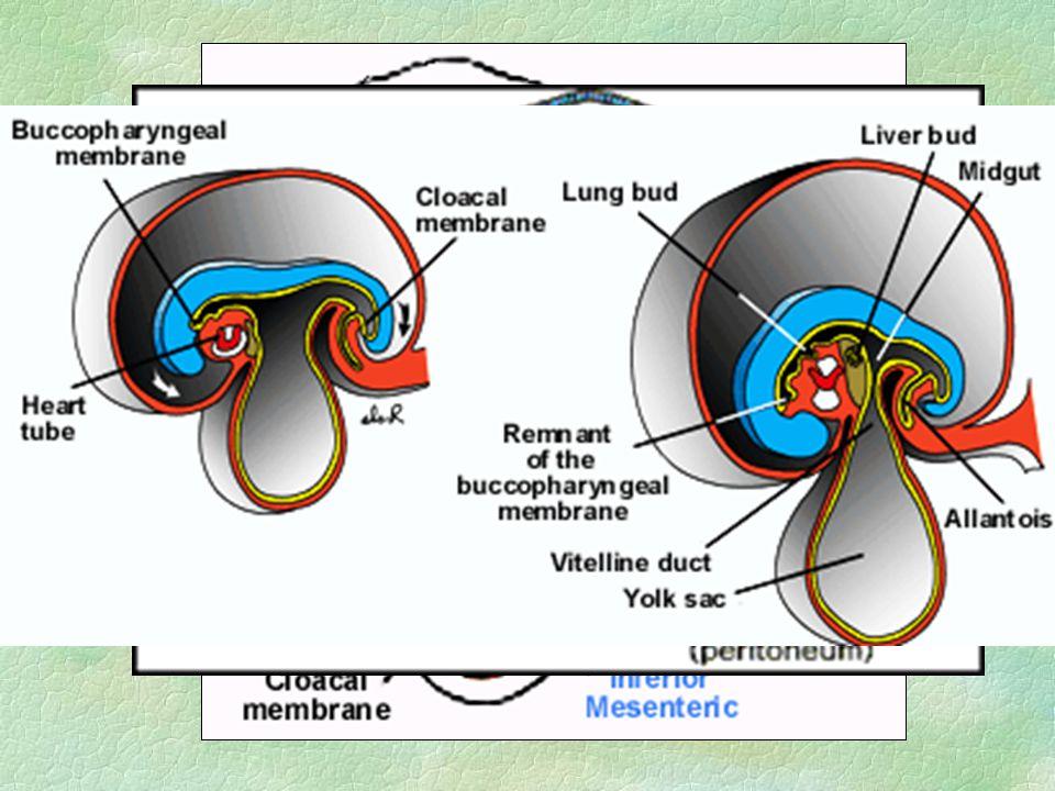 Vývoj ústní a nosní dutiny §základ - stomodeum l jamka vystlaná ektodermem, orofaryngovou membránou l ohraničení: dolní výběžky 1.