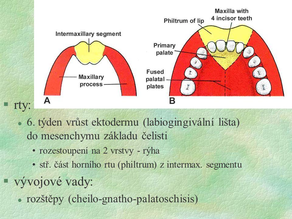 §rty: l 6. týden vrůst ektodermu (labiogingivální lišta) do mesenchymu základu čelisti rozestoupení na 2 vrstvy - rýha stř. část horního rtu (philtrum