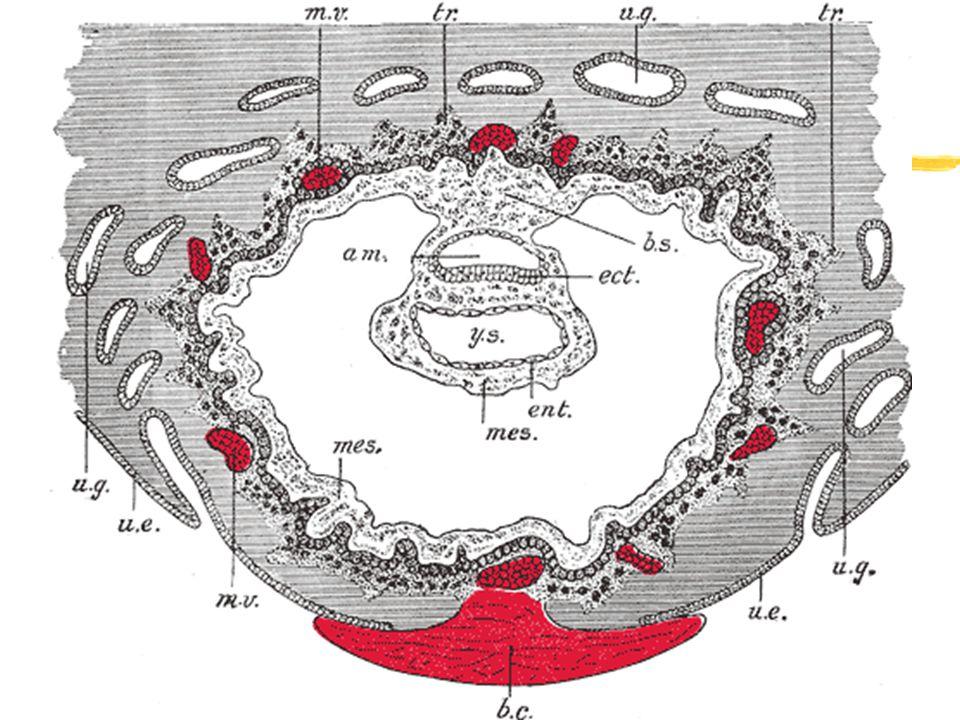 Placenta - vývoj zmateřská komponenta yendometrium - deciduální reakce ydecidua basalis, capsularis, parietalis zfetální komponenta ytrofoblast xcytot
