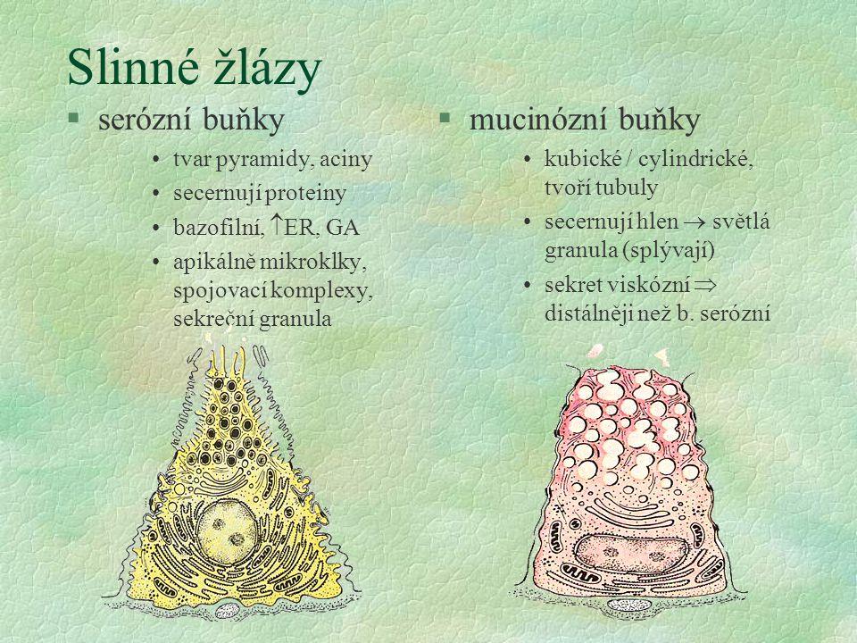Slinné žlázy §serózní buňky tvar pyramidy, aciny secernují proteiny bazofilní,  ER, GA apikálně mikroklky, spojovací komplexy, sekreční granula §mucinózní buňky kubické / cylindrické, tvoří tubuly secernují hlen  světlá granula (splývají) sekret viskózní  distálněji než b.