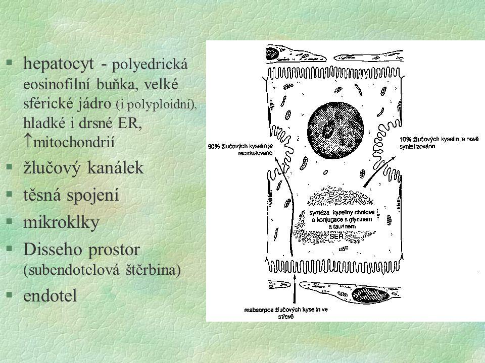 §hepatocyt - polyedrická eosinofilní buňka, velké sférické jádro (i polyploidní), hladké i drsné ER,  mitochondrií §žlučový kanálek §těsná spojení §m
