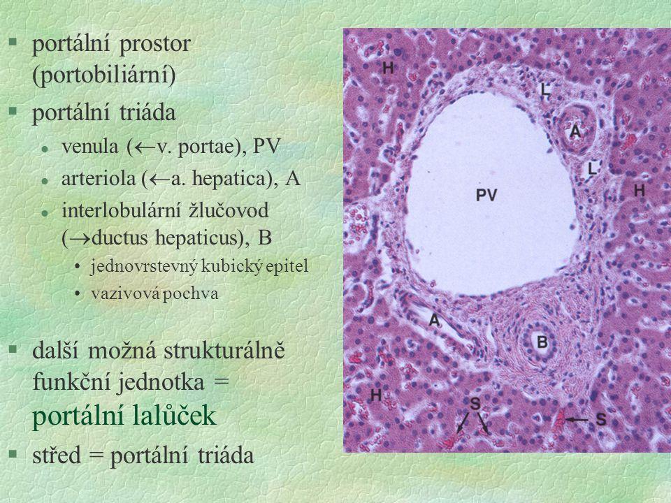 §portální prostor (portobiliární) §portální triáda l venula (  v. portae), PV l arteriola (  a. hepatica), A l interlobulární žlučovod (  ductus he