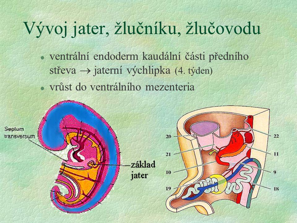 Vývoj jater, žlučníku, žlučovodu l ventrální endoderm kaudální části předního střeva  jaterní výchlipka (4. týden) l vrůst do ventrálního mezenteria