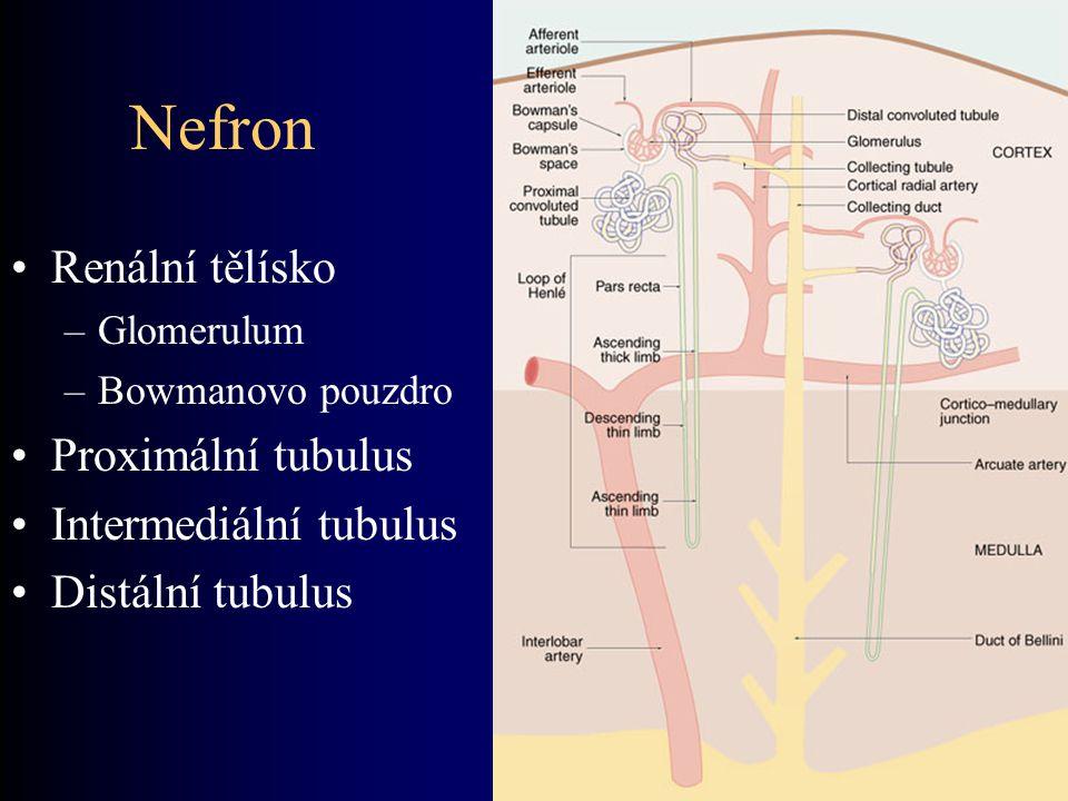 Nefron Renální tělísko –Glomerulum –Bowmanovo pouzdro Proximální tubulus Intermediální tubulus Distální tubulus