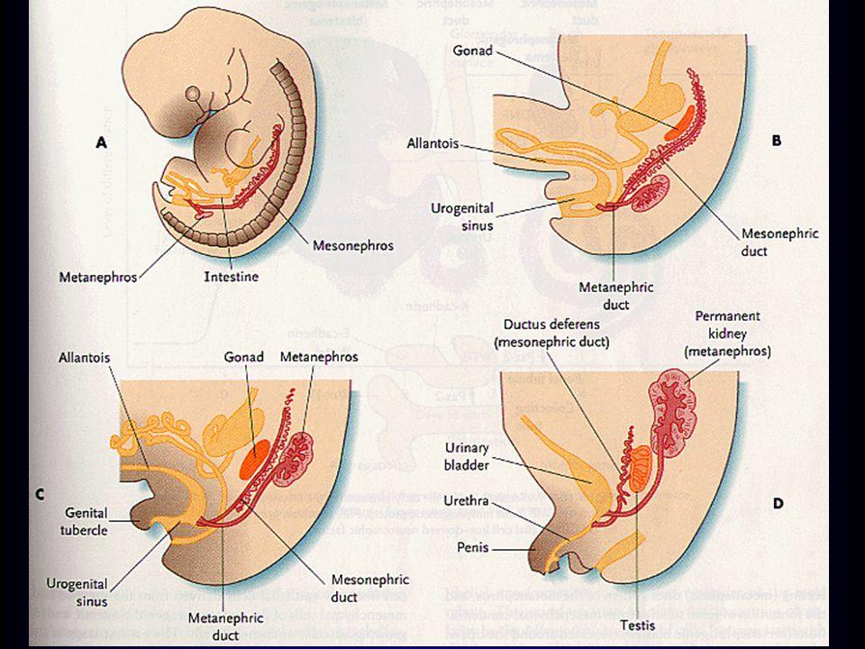 Vývoj vývodných cest močových močový měchýř –vývoj z urogenitálního sinusu (kran.