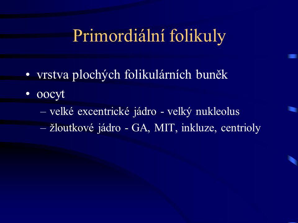 Primordiální folikuly vrstva plochých folikulárních buněk oocyt –velké excentrické jádro - velký nukleolus –žloutkové jádro - GA, MIT, inkluze, centri