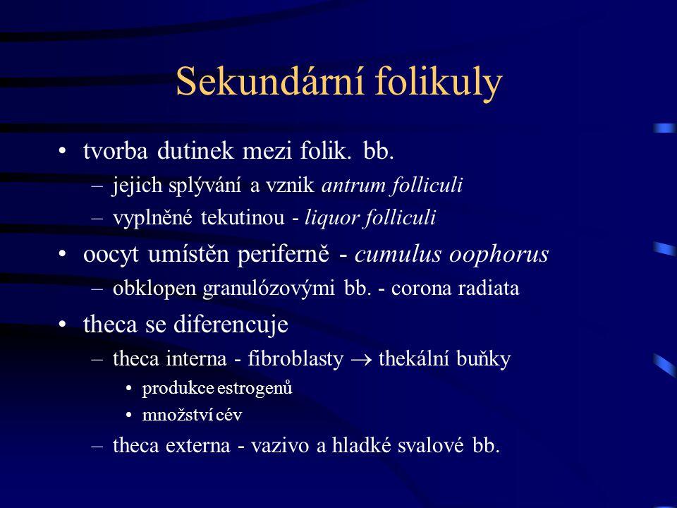 Sekundární folikuly tvorba dutinek mezi folik. bb. –jejich splývání a vznik antrum folliculi –vyplněné tekutinou - liquor folliculi oocyt umístěn peri