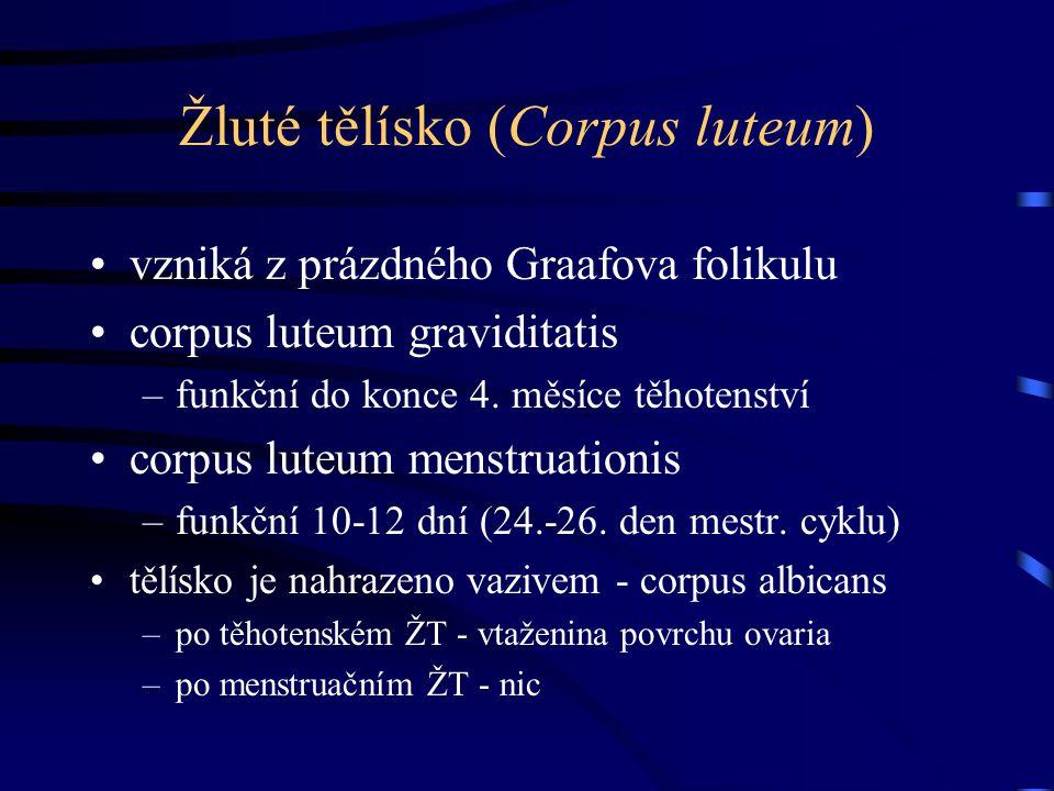 Žluté tělísko (Corpus luteum) vzniká z prázdného Graafova folikulu corpus luteum graviditatis –funkční do konce 4. měsíce těhotenství corpus luteum me