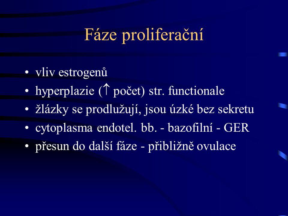 Fáze proliferační vliv estrogenů hyperplazie (  počet) str. functionale žlázky se prodlužují, jsou úzké bez sekretu cytoplasma endotel. bb. - bazofil