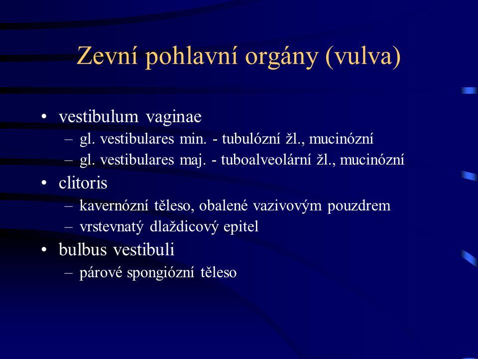 Zevní pohlavní orgány (vulva) vestibulum vaginae –gl. vestibulares min. - tubulózní žl., mucinózní –gl. vestibulares maj. - tuboalveolární žl., mucinó