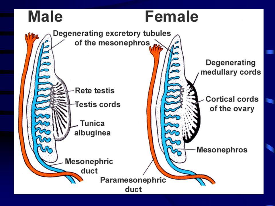Vývoj pohlavních vývodů mesonefrické vývody i tubuly zanikají paramesonefrické vývody –kraniální a střední část - vejcovody –kaudální části splývají -