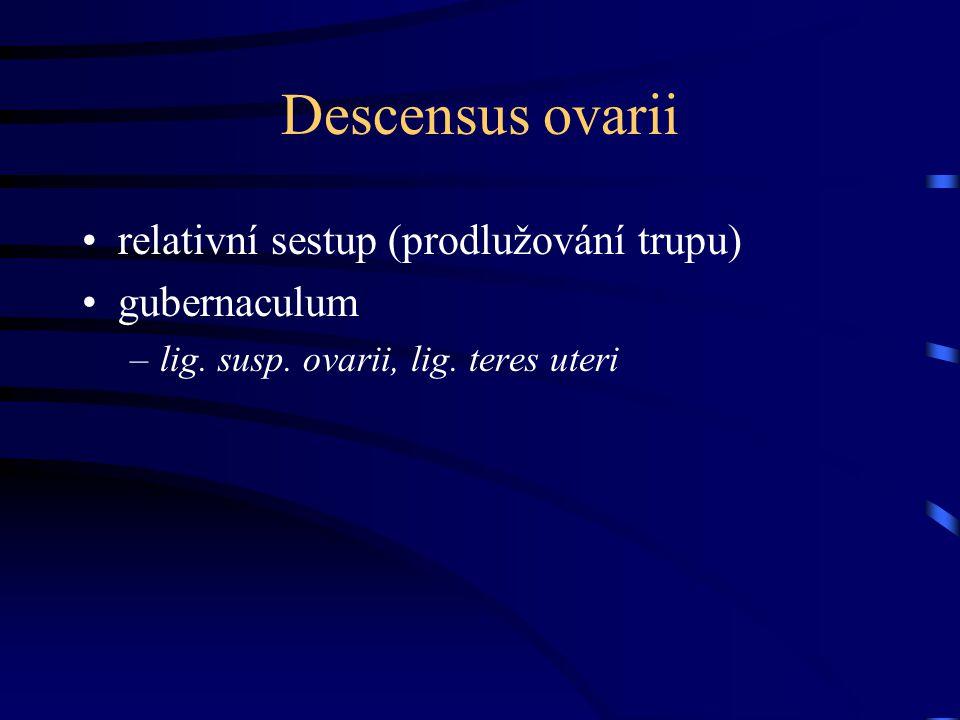 Descensus ovarii relativní sestup (prodlužování trupu) gubernaculum –lig. susp. ovarii, lig. teres uteri