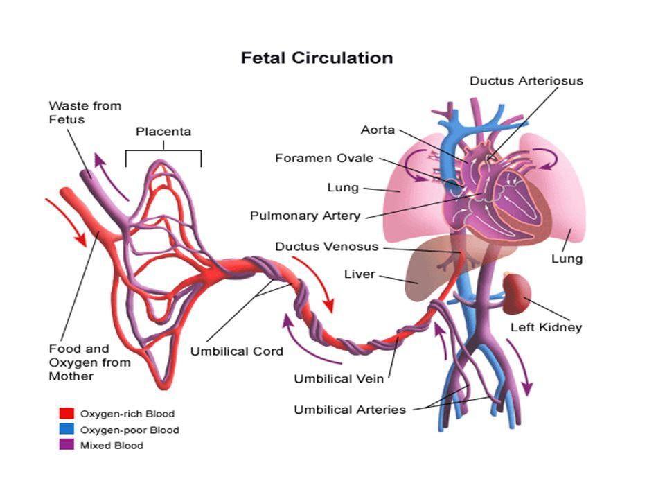 Krevní oběh  Vzniká v embryonálním období přestavbou cév.