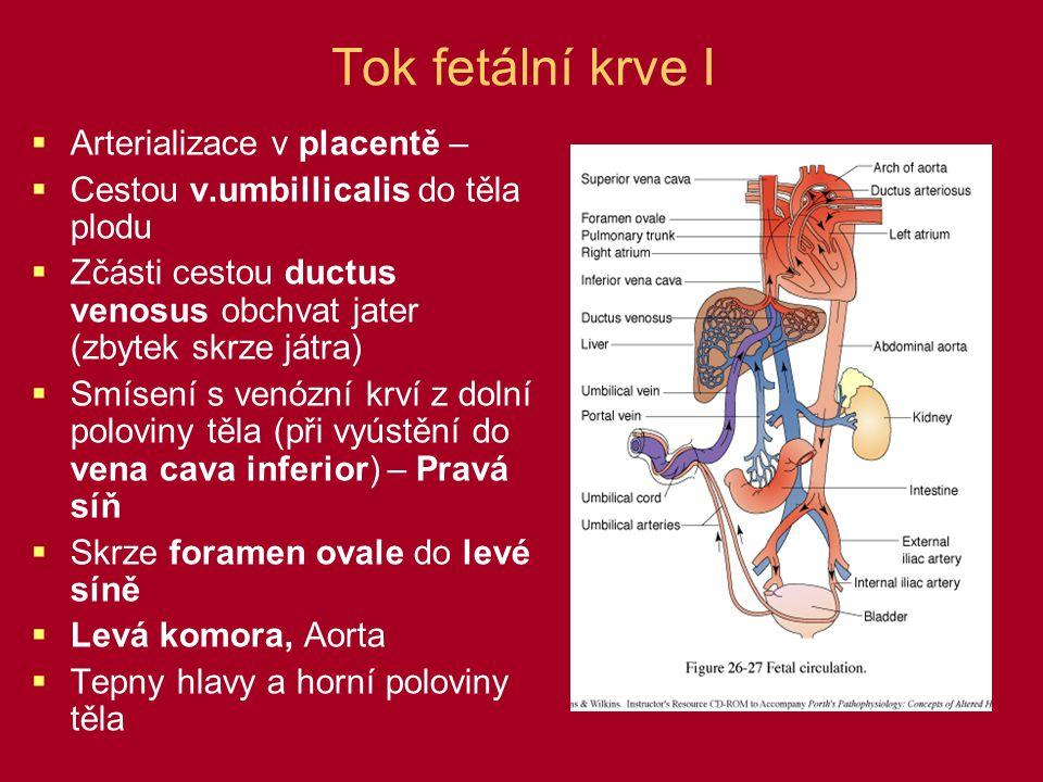 Tok fetální krve I  Arterializace v placentě –  Cestou v.umbillicalis do těla plodu  Zčásti cestou ductus venosus obchvat jater (zbytek skrze játra