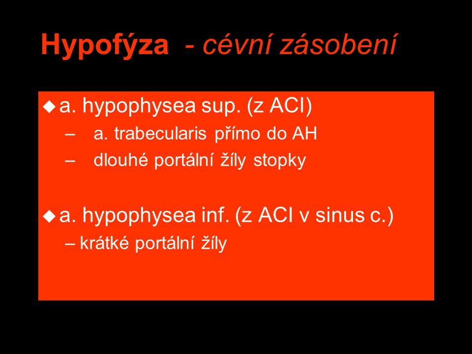 Hypofýza - cévní zásobení u a. hypophysea sup. (z ACI) – a. trabecularis přímo do AH – dlouhé portální žíly stopky u a. hypophysea inf. (z ACI v sinus