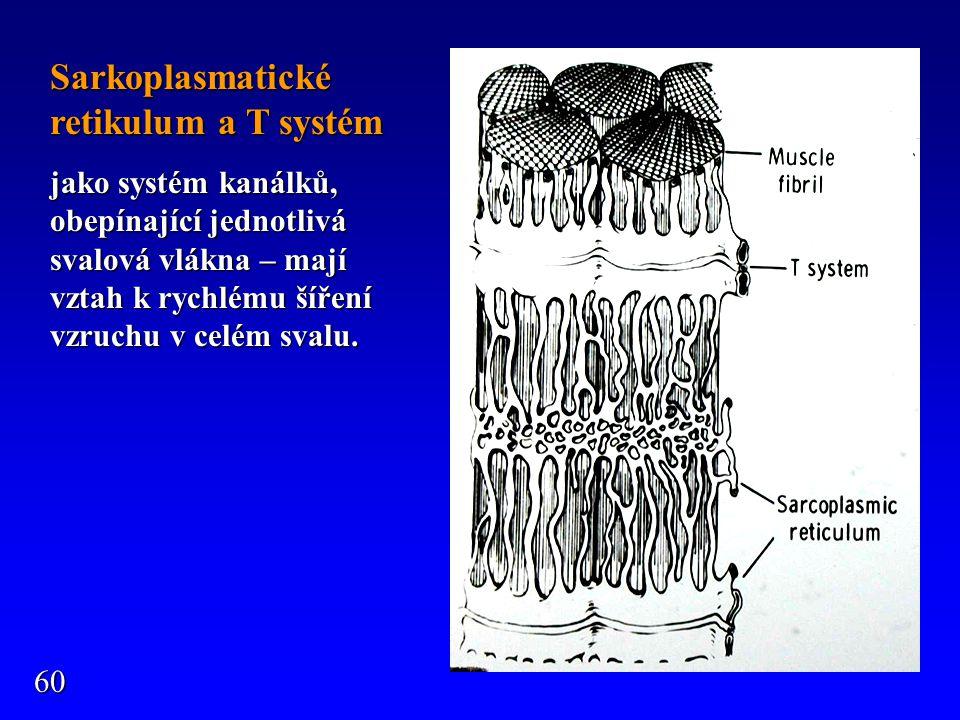 Sarkoplasmatické retikulum a T systém jako systém kanálků, obepínající jednotlivá svalová vlákna – mají vztah k rychlému šíření vzruchu v celém svalu.