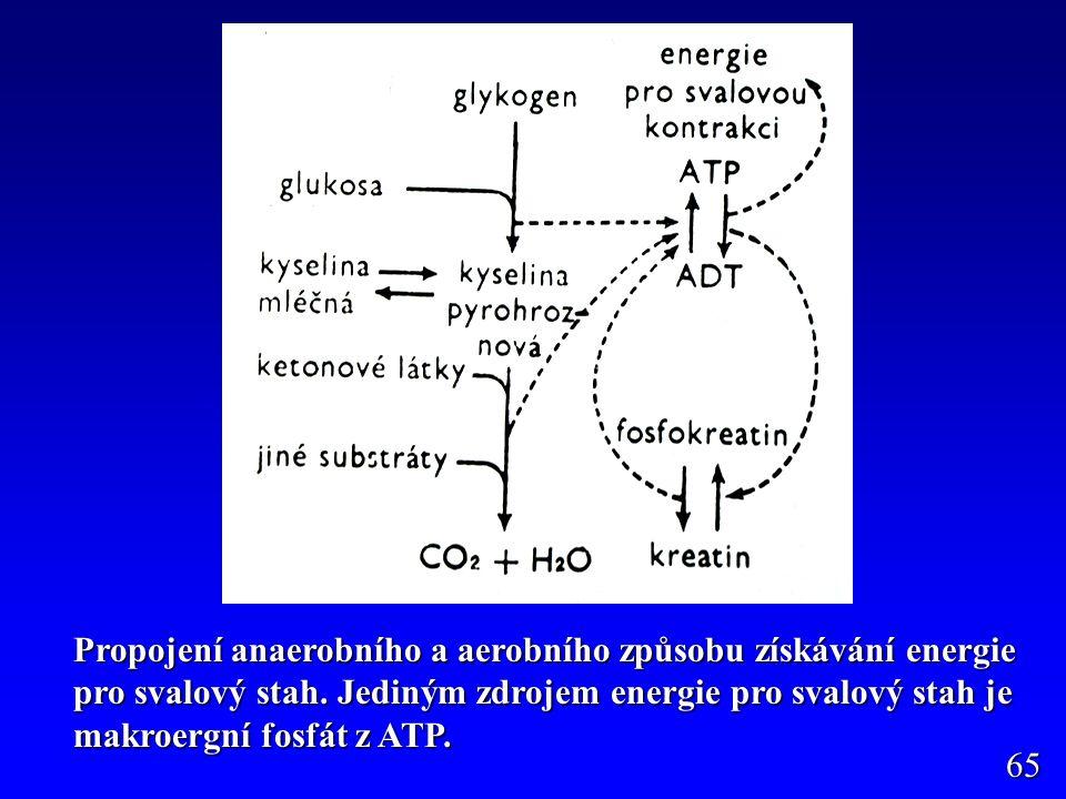Propojení anaerobního a aerobního způsobu získávání energie pro svalový stah. Jediným zdrojem energie pro svalový stah je makroergní fosfát z ATP. 65