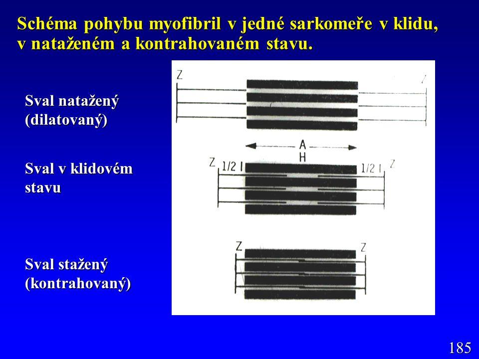Schéma pohybu myofibril v jedné sarkomeře v klidu, v nataženém a kontrahovaném stavu. Sval natažený (dilatovaný) Sval v klidovém stavu Sval stažený (k