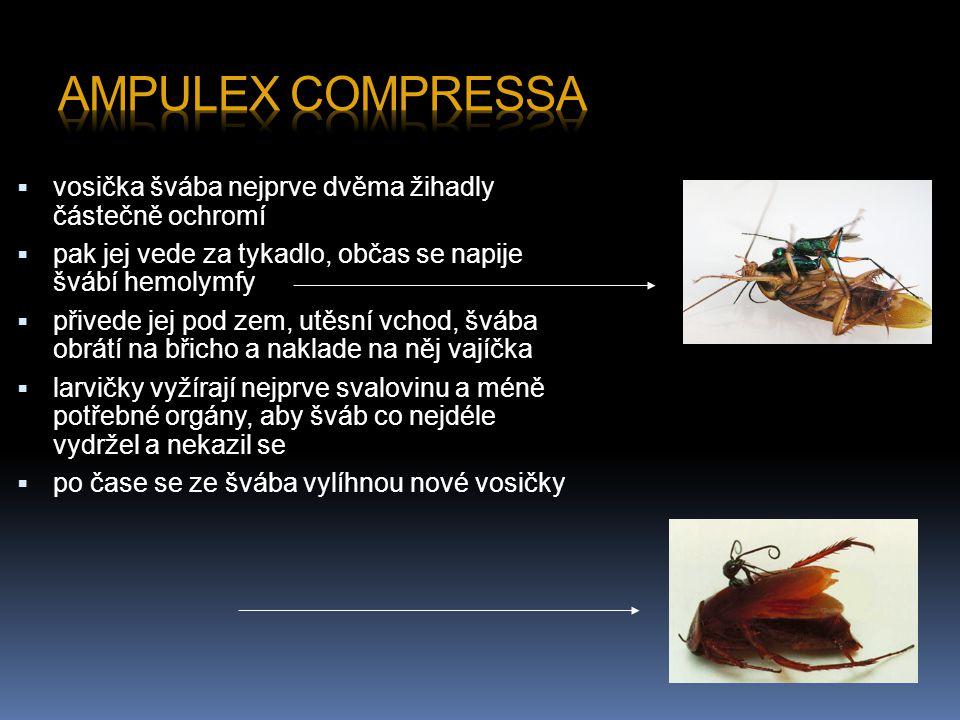  vosička švába nejprve dvěma žihadly částečně ochromí  pak jej vede za tykadlo, občas se napije švábí hemolymfy  přivede jej pod zem, utěsní vchod, švába obrátí na břicho a naklade na něj vajíčka  larvičky vyžírají nejprve svalovinu a méně potřebné orgány, aby šváb co nejdéle vydržel a nekazil se  po čase se ze švába vylíhnou nové vosičky