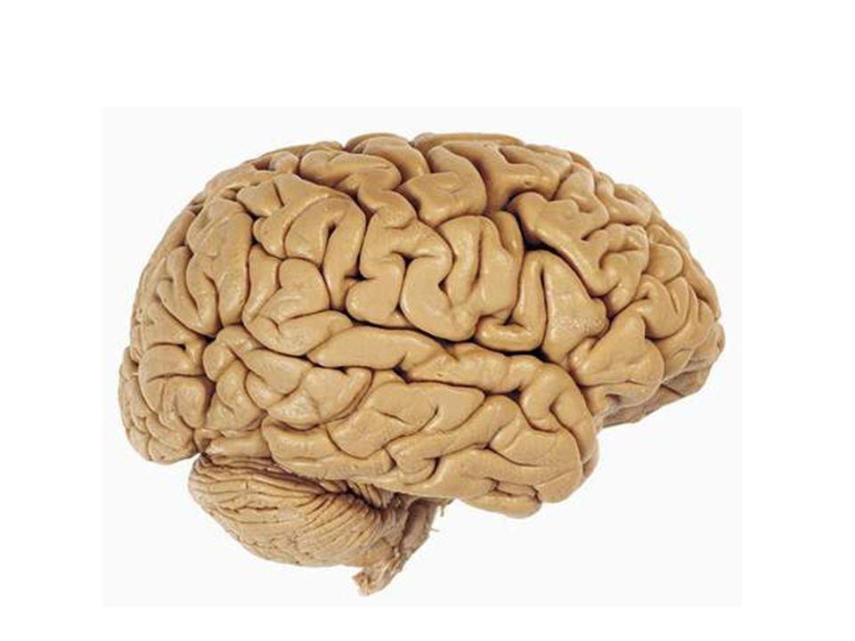 Mozkové nádory Glioblastoma multiforme – Nejčastější, hl.