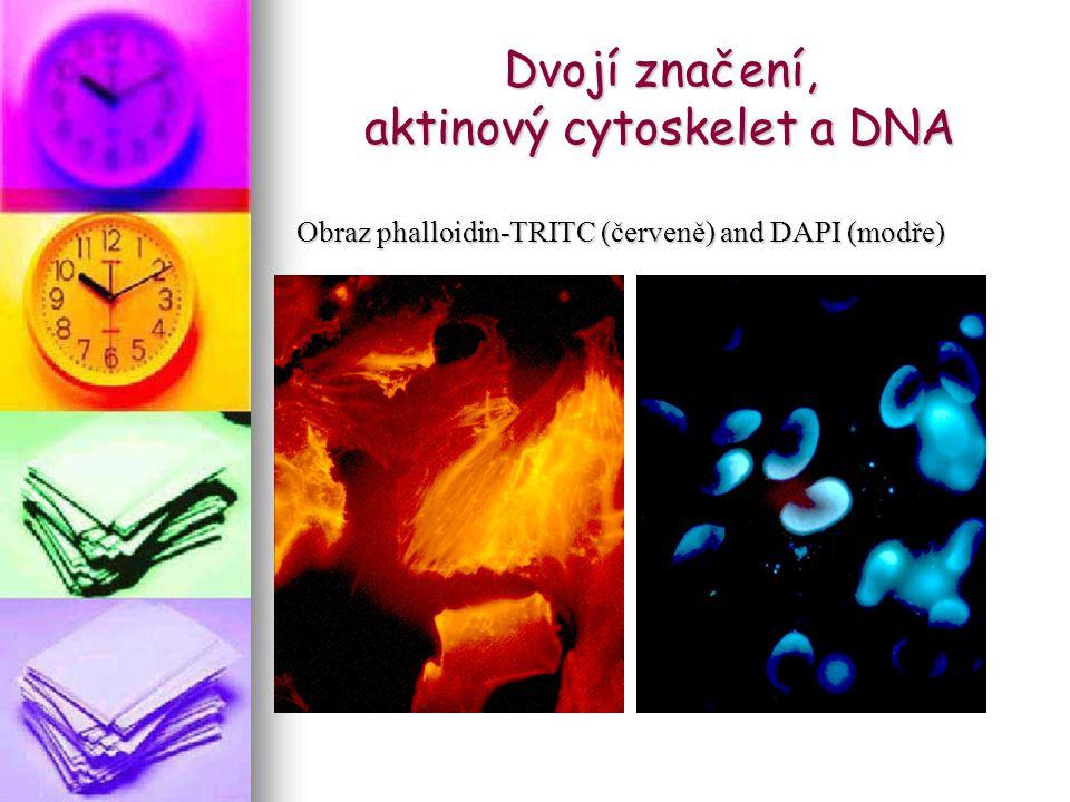 Dvojí značení, aktinový cytoskelet a DNA Obraz phalloidin-TRITC (červeně) and DAPI (modře)
