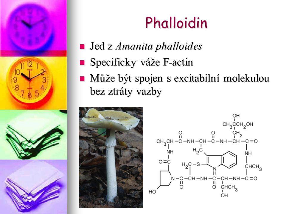 Phalloidin Jed z Amanita phalloides Jed z Amanita phalloides Specificky váže F-actin Specificky váže F-actin Může být spojen s excitabilní molekulou bez ztráty vazby Může být spojen s excitabilní molekulou bez ztráty vazby