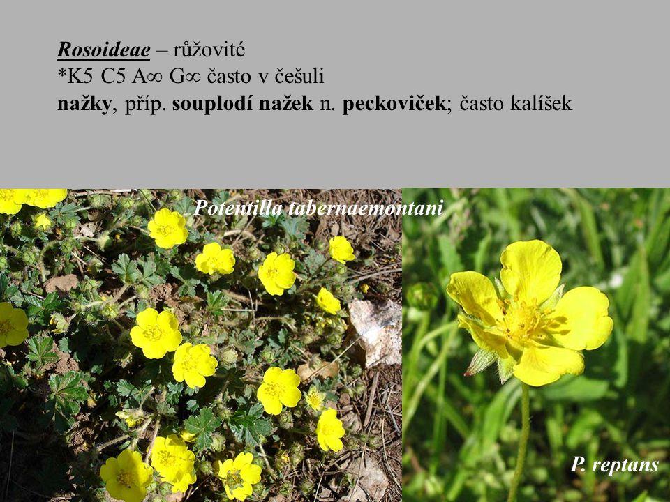 Rosoideae – růžovité *K5 C5 A  G  často v češuli nažky, příp.